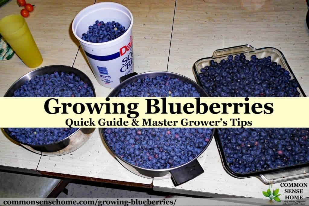 "four containers of blueberries sitting on table with text overlay ""growing blueberries"""