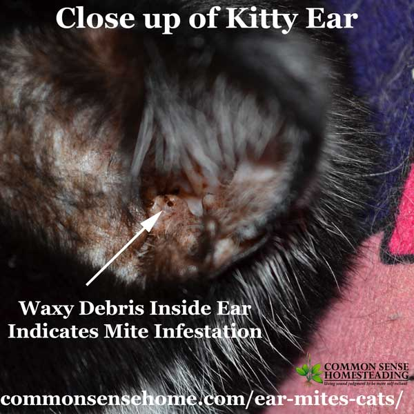 Ear mites are a common infestation and are easily spread between cats and other animals. Treatment of ear mites involves removing the debris from the ears and using a topical insecticide in the ear canal to kill off the remaining mites and new mites that hatch out of eggs left behind.