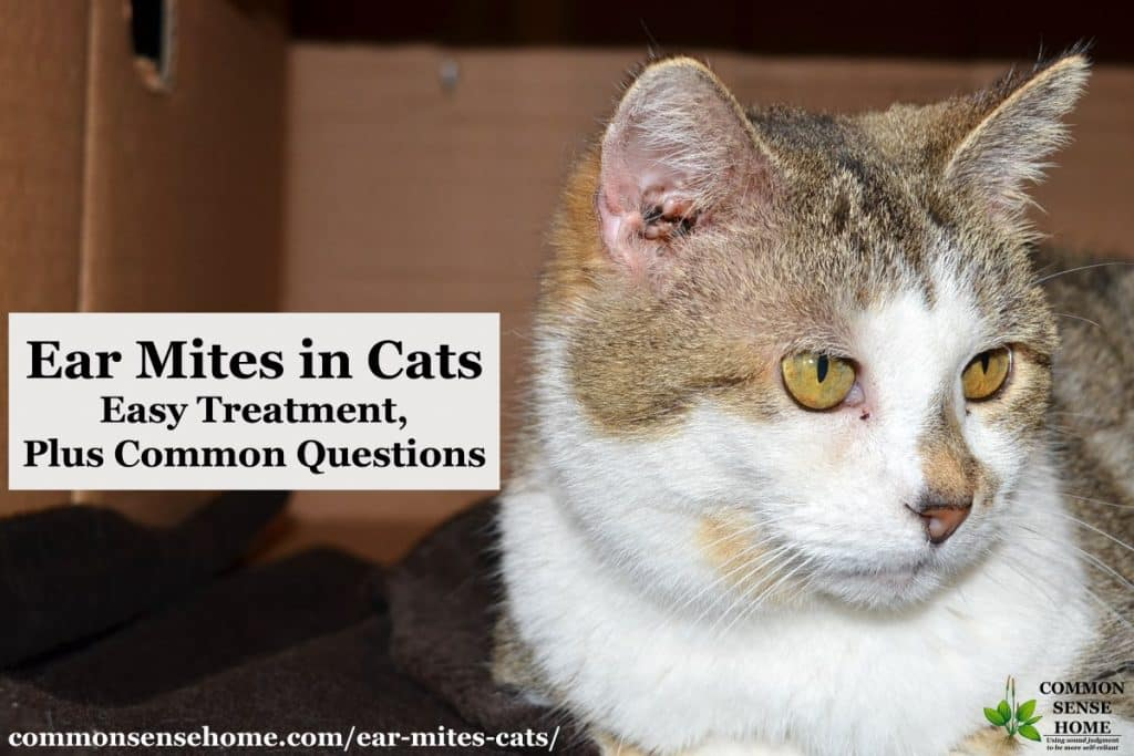 Ear Mites in Cats - Easy Treatment, Plus Common Questions