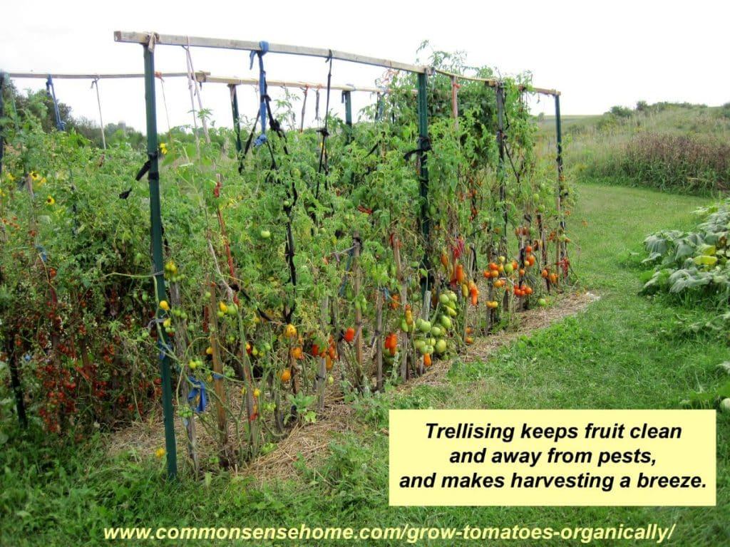 5 terrific tomato trellis ideas for easier picking and