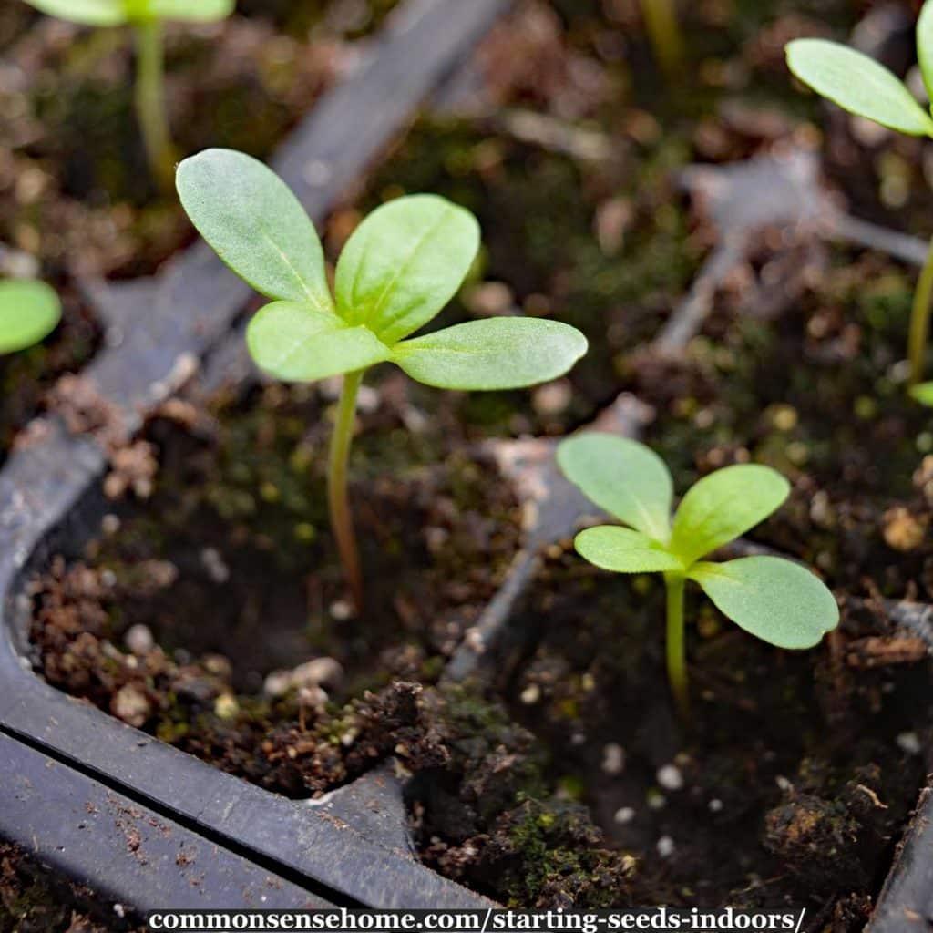 starting seeds indoors - annual flower seedlings