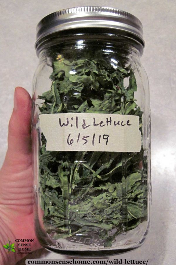 dried wild lettuce leaves for tea in a mason jar