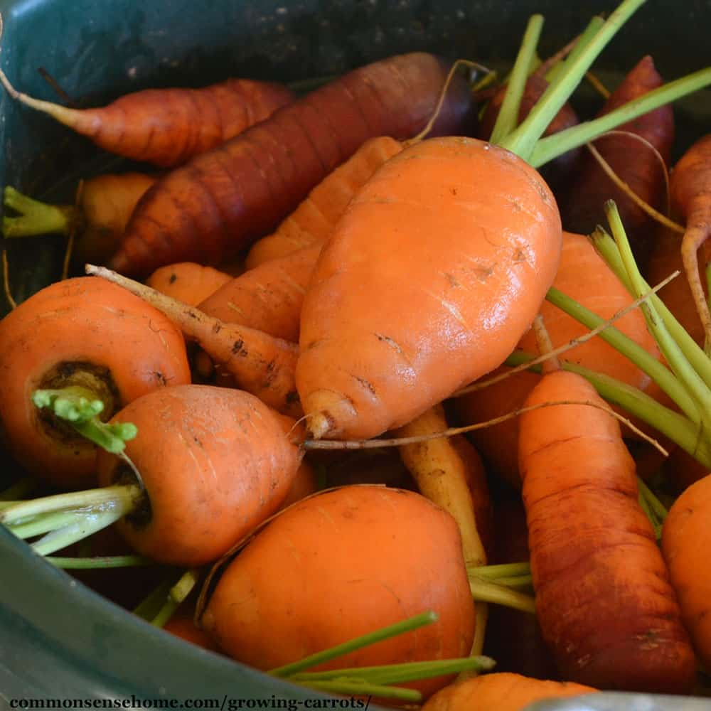 stocky bright orange carrots in a green bucket