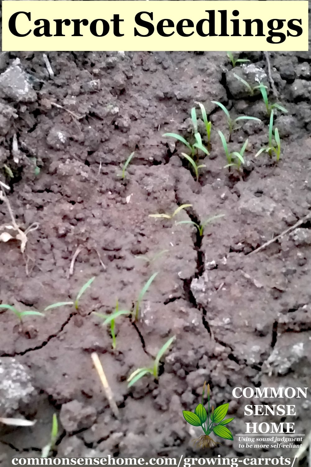 Tiny carrot seedlings in cracked soil