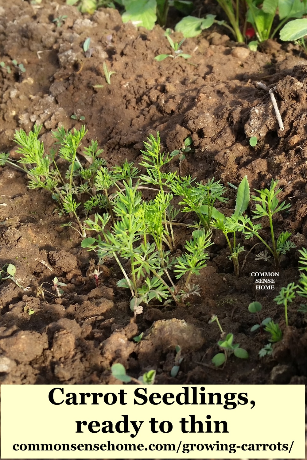 Carrot seedlings in garden soil that are ready to be thinned