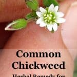 chickweed close-up