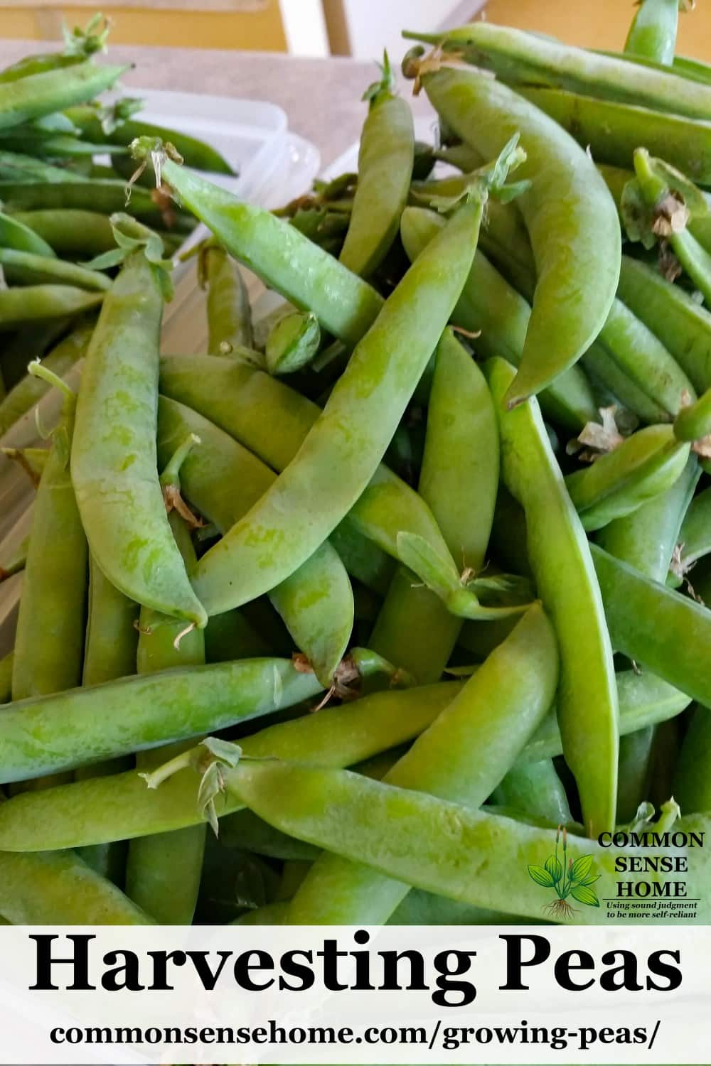 large pile of harvested garden peas in pods in bin on kitchen counter