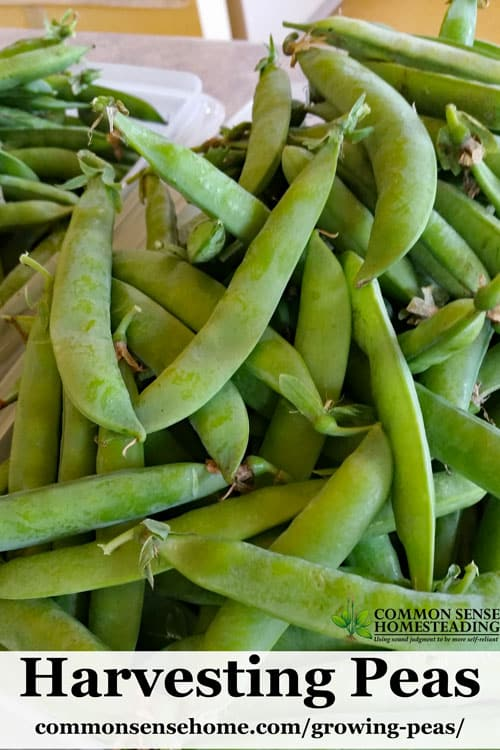 Growing peas in your garden will turn you into a pea lover. From planting to harvest, this easy to follow guide will help you grow delicious homegrown peas.