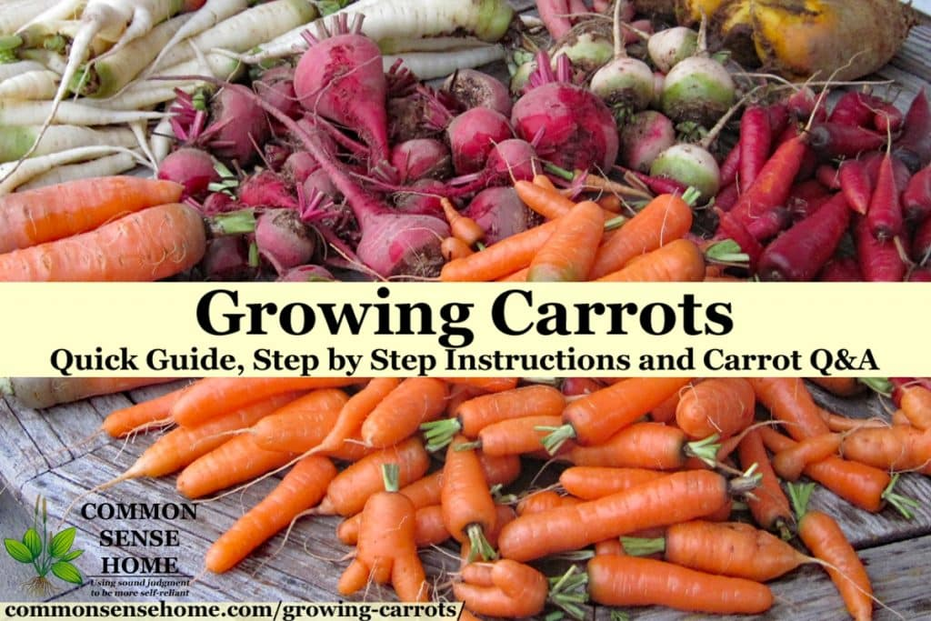 "Pile of harvested carrots and beets on wooden table with text overlay ""growing carrots"""