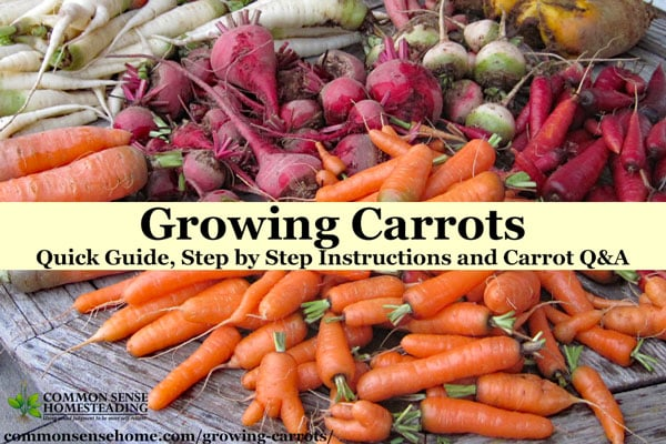 Growing carrots can be a little tricky, but this post will help you learn how to plant, when to thin, companion plants, and growing and harvesting tips.