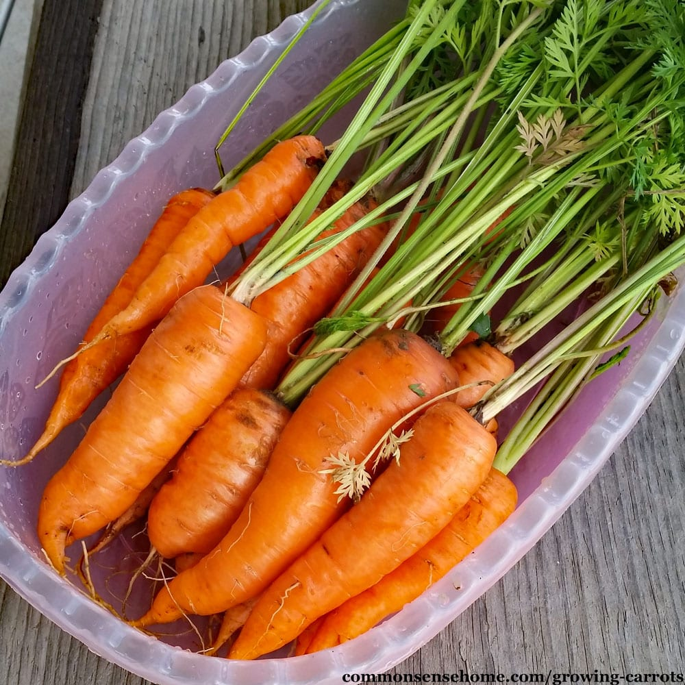 freshly harvested carrots in a pink bin on wooden table
