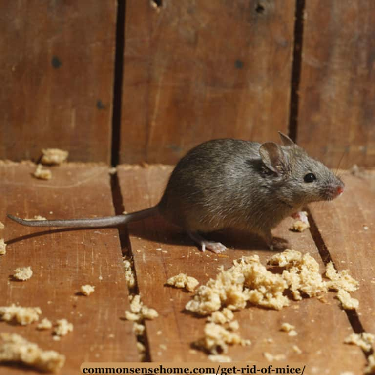 How to Get Rid of Mice in Your House and Garage