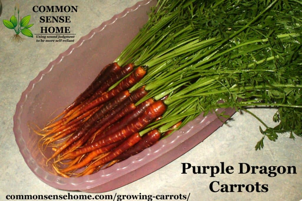 Purple Dragon carrots in pink bin