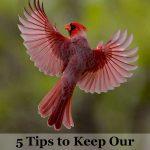 stop bird hitting windows - cardinal in flight