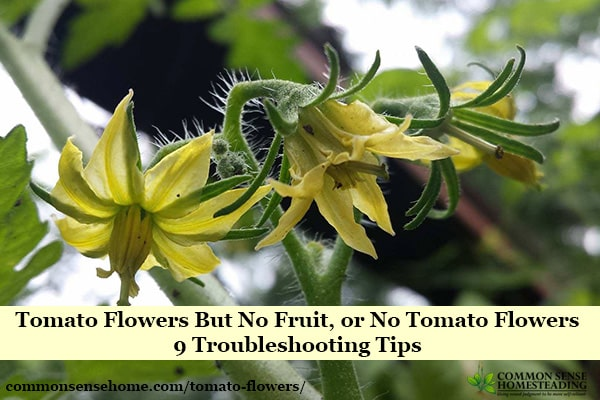 Solving two tomato flower problems - no flowers at all, and tomato flowers but no fruit. We look at common causes and tips to get your tomatoes producing.
