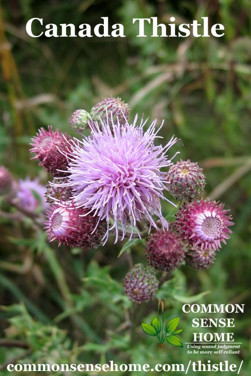 Canada thistle blossoms