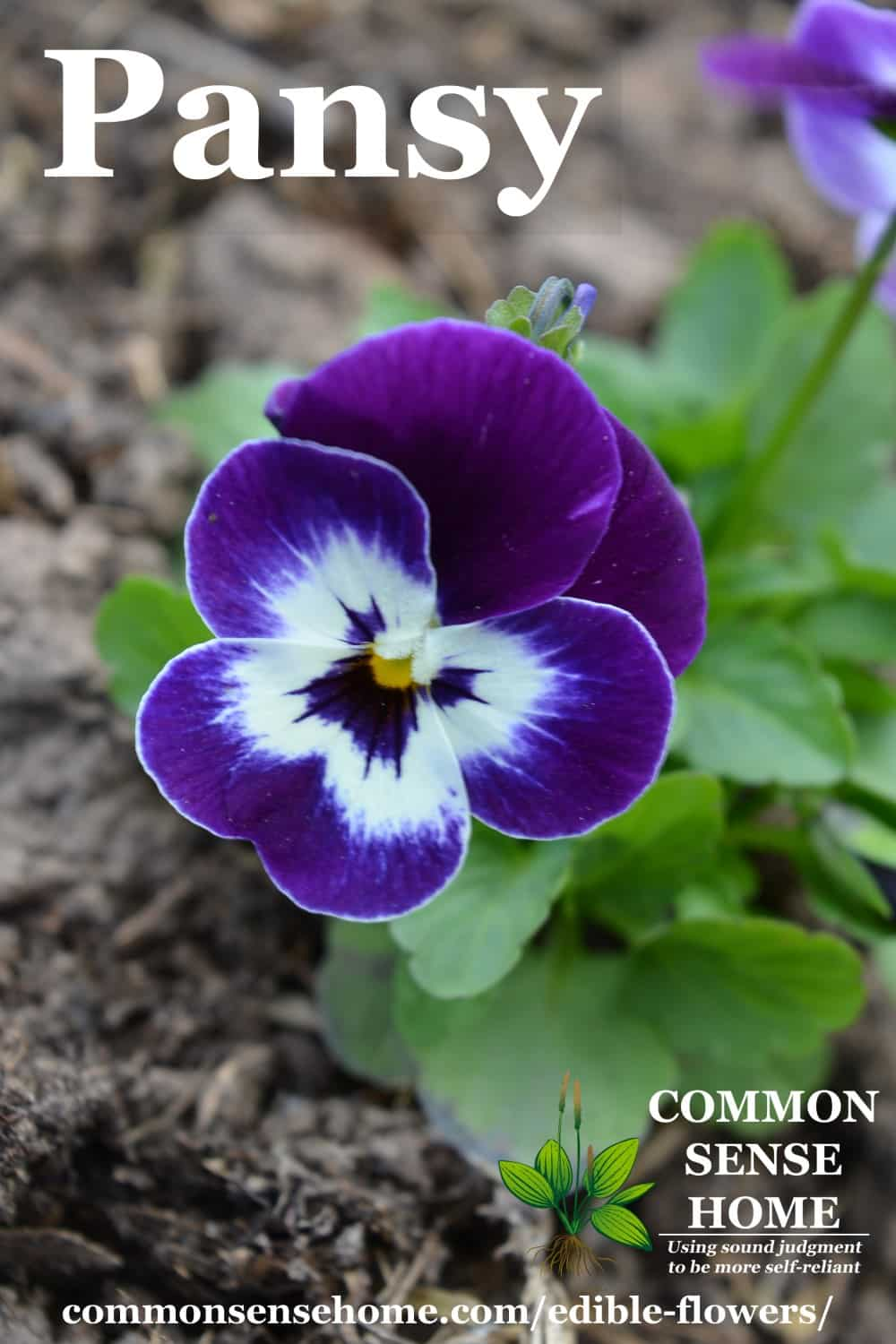 edible flowers - pansies - purple pansy with green leaves against dark soil