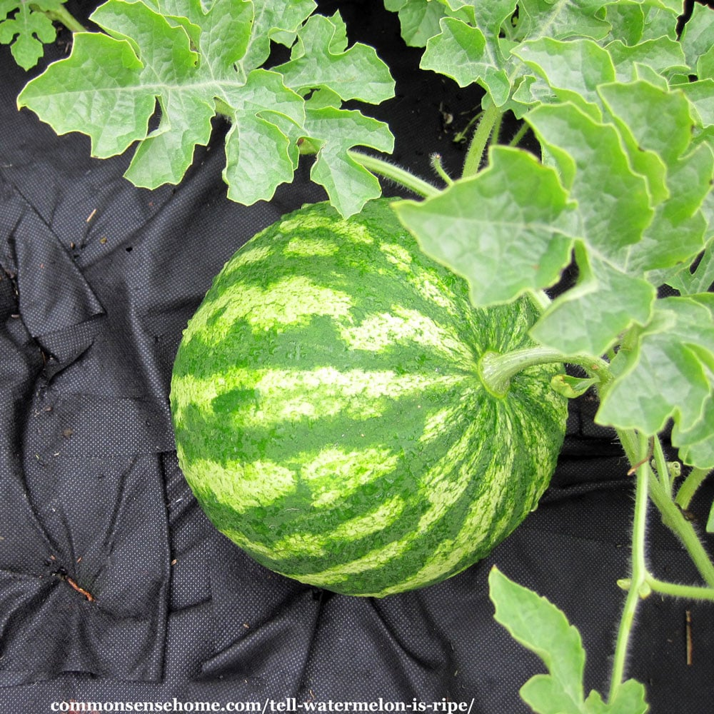 How to Tell if a Watermelon is Ripe - watermelon in garden