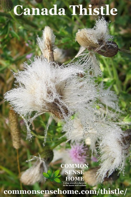 canada thistle down