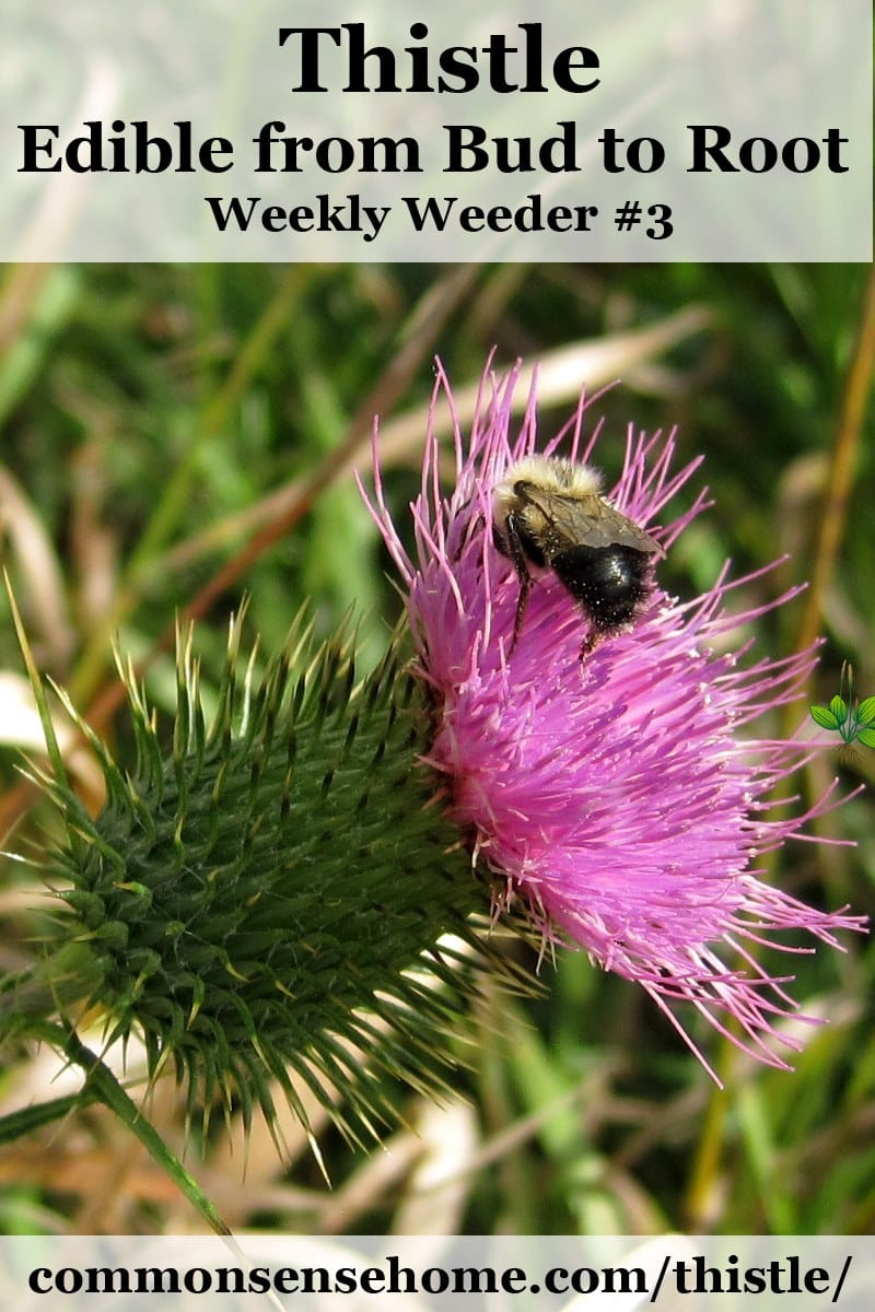 bumblebee on bull thistle blossom
