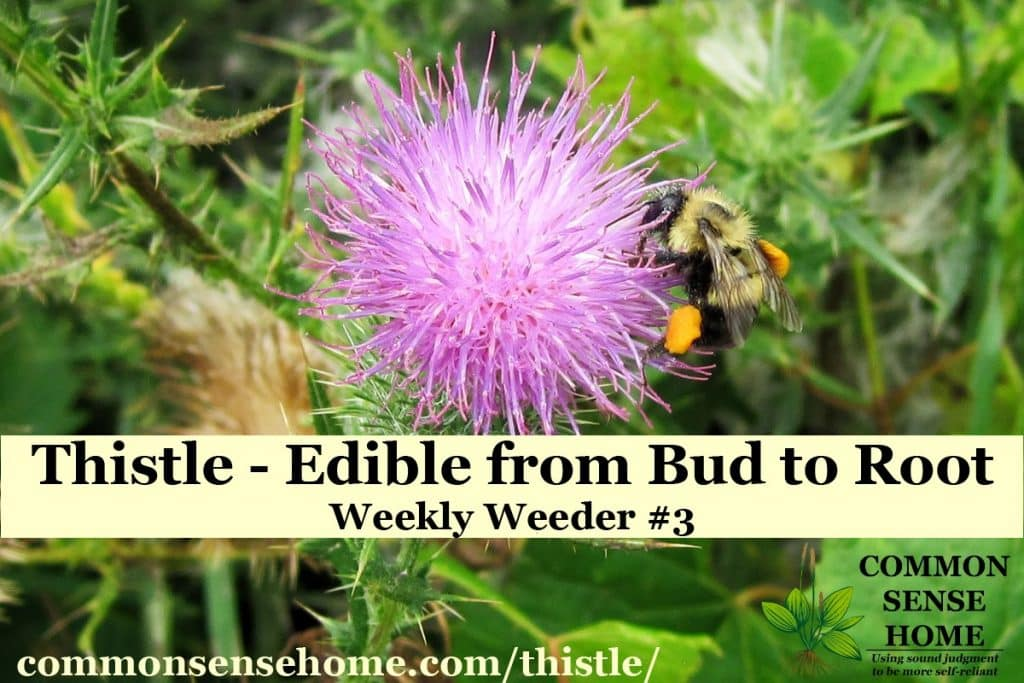 bumblebee on bull thistle flower