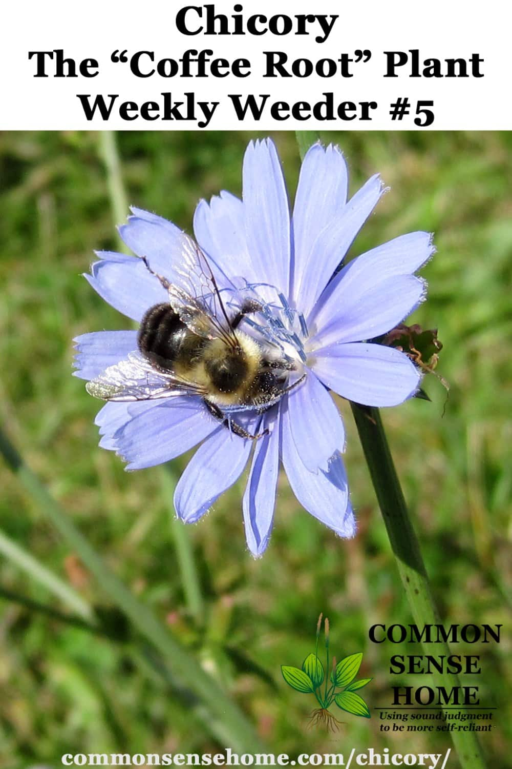 bee on chicory blossom