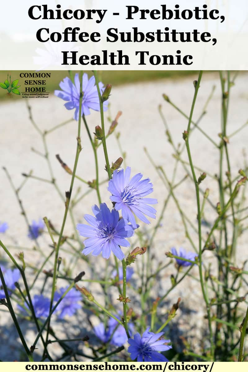 blue chicory flowers in bloom by a gravel driveway