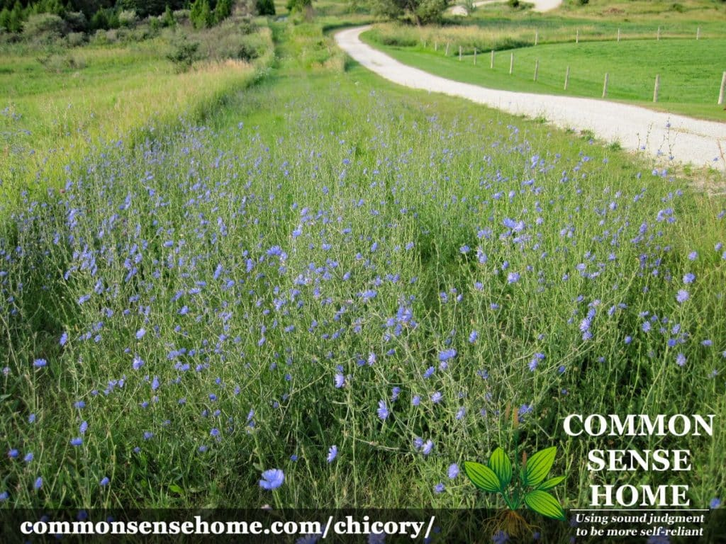 chicory patch