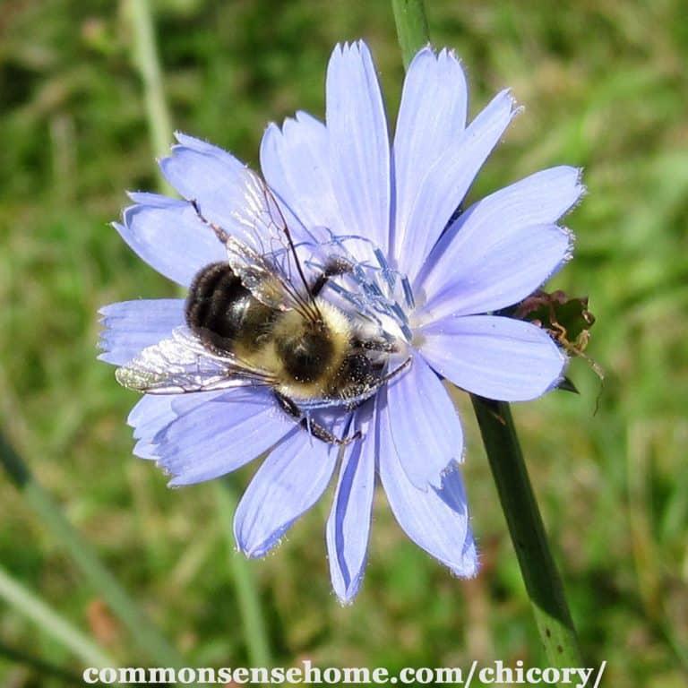 Chicory – Prebiotic, Coffee Substitute, Health Tonic – Weekly Weeder #5