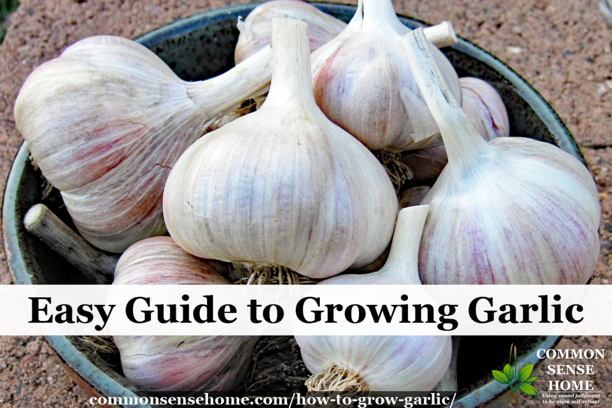 How To Grow Garlic In The Garden Easy Guide Growing