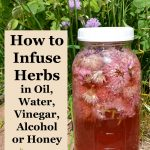 How to infuse herbs - Make your own flavored cooking oils or flavored vinegars, delicious extracts and sweet treats, or homemade medicines from your garden.