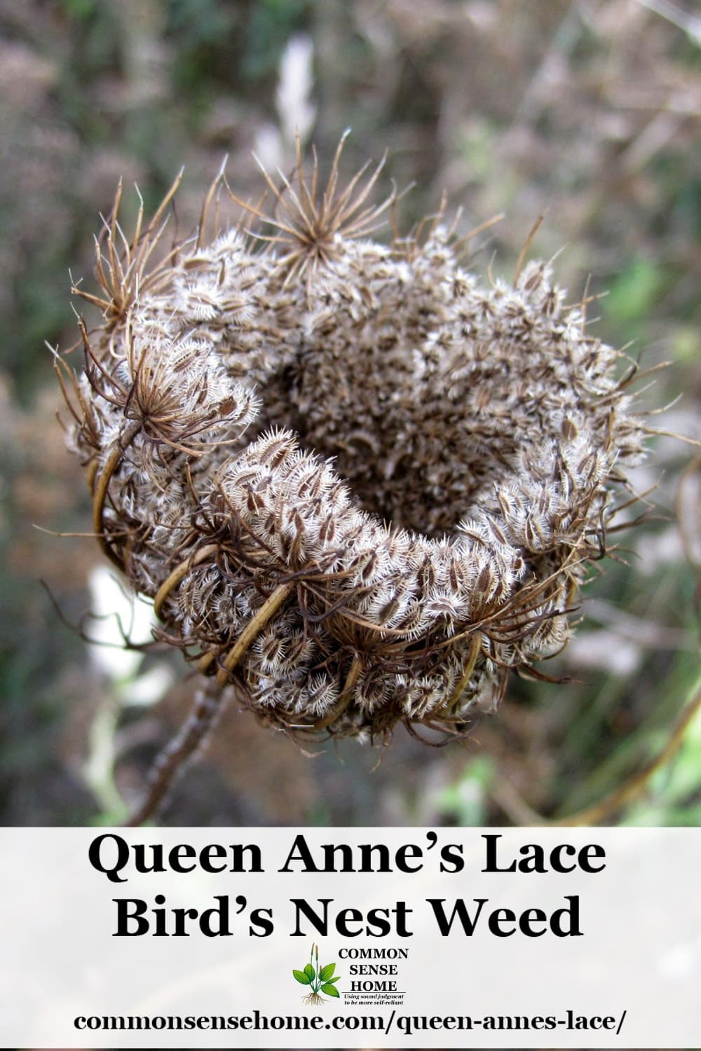 Queen Anne S Lace Butterfly Host Plant And Blueberry Protector