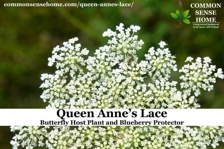 Queen Anne's Lace – Butterfly Host Plant and Blueberry Protector