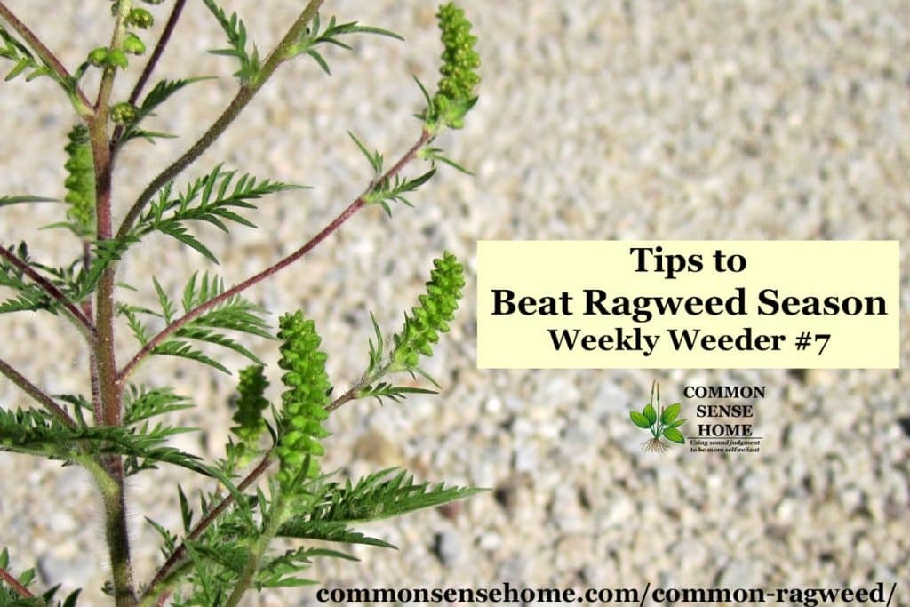 "common ragweed plant - text ""tips to beat ragweed season"""