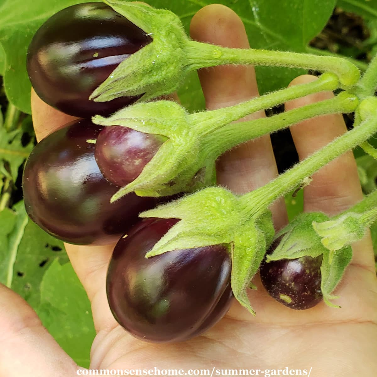 eggplant fruit on the vine