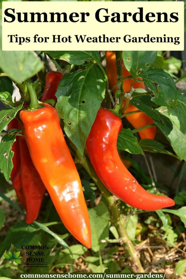 red hot peppers in garden