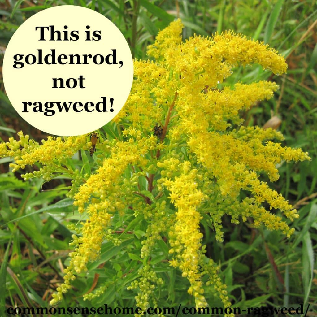 ragweed-vs-goldenrod