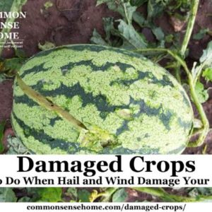 Learn what to do when wind or hail causes damaged crops - treatment for leaf damage, flower damage, and fruit damage, plus hail protection options.