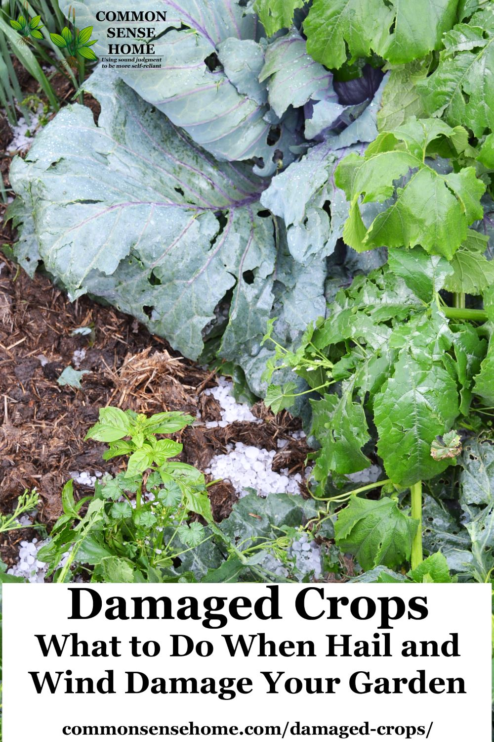 Damaged Crops What To Do When Hail And Wind Damage Your Garden