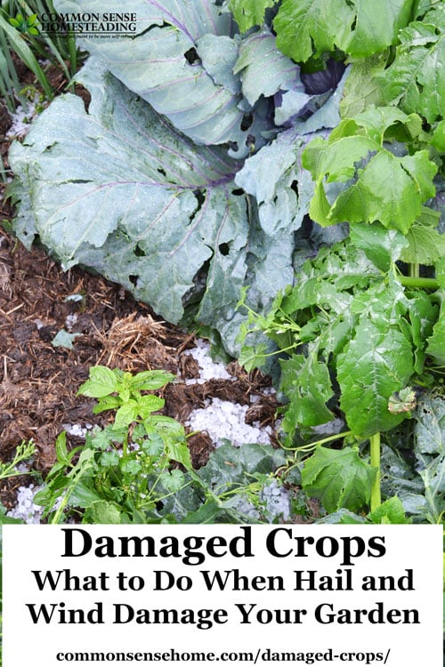 What to do when wind or hail causes damaged crops. Treatment for leaf damage, flower damage, and fruit damage, plus hail protection options.