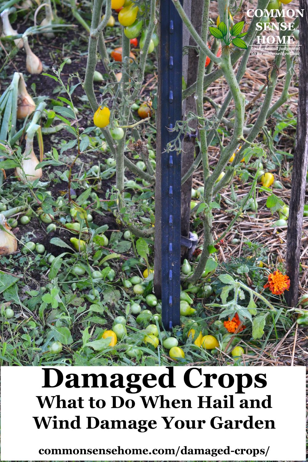 Damaged Crops - What to Do When Hail and Wind Damage Your Garden
