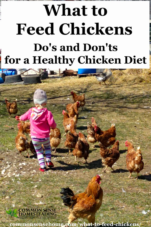 What to feed chickens and what not to feed chickens to keep your flock happy and healthy. Includes favorite healthy chicken treats and high risk foods.