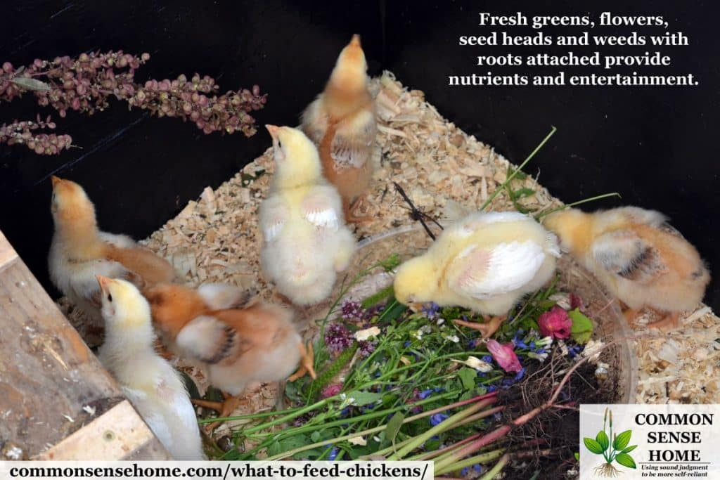 chicks eating greens
