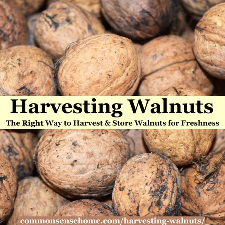 Harvesting Walnuts – The Right Way to Pick & Store Walnuts for Freshness