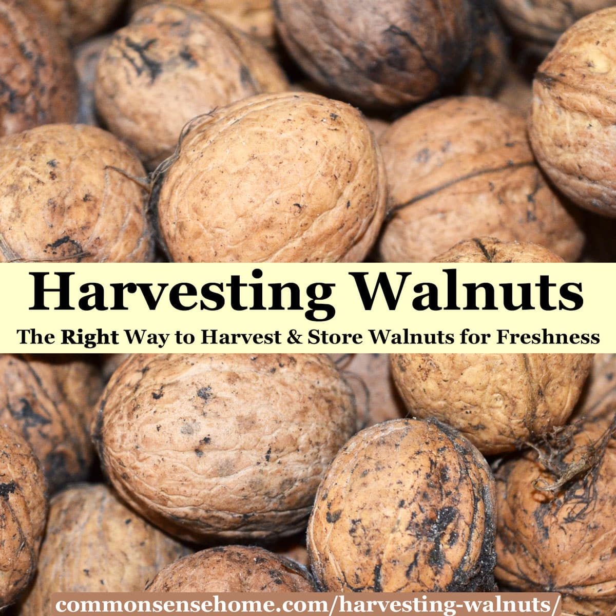English (Carpathian) walnuts