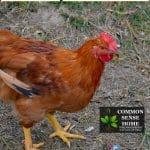 chicken near feeder