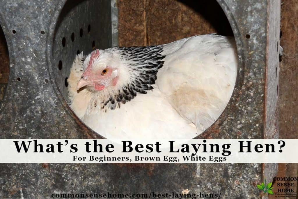 Best Laying Hens For Beginners White Eggs Brown Eggs