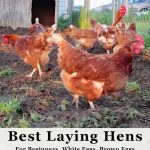 What are the best laying hens for beginners, white eggs and brown eggs? We'll give a quick overview of laying chickens for best egg production , dual purpose birds, bantams and getting your flock started.