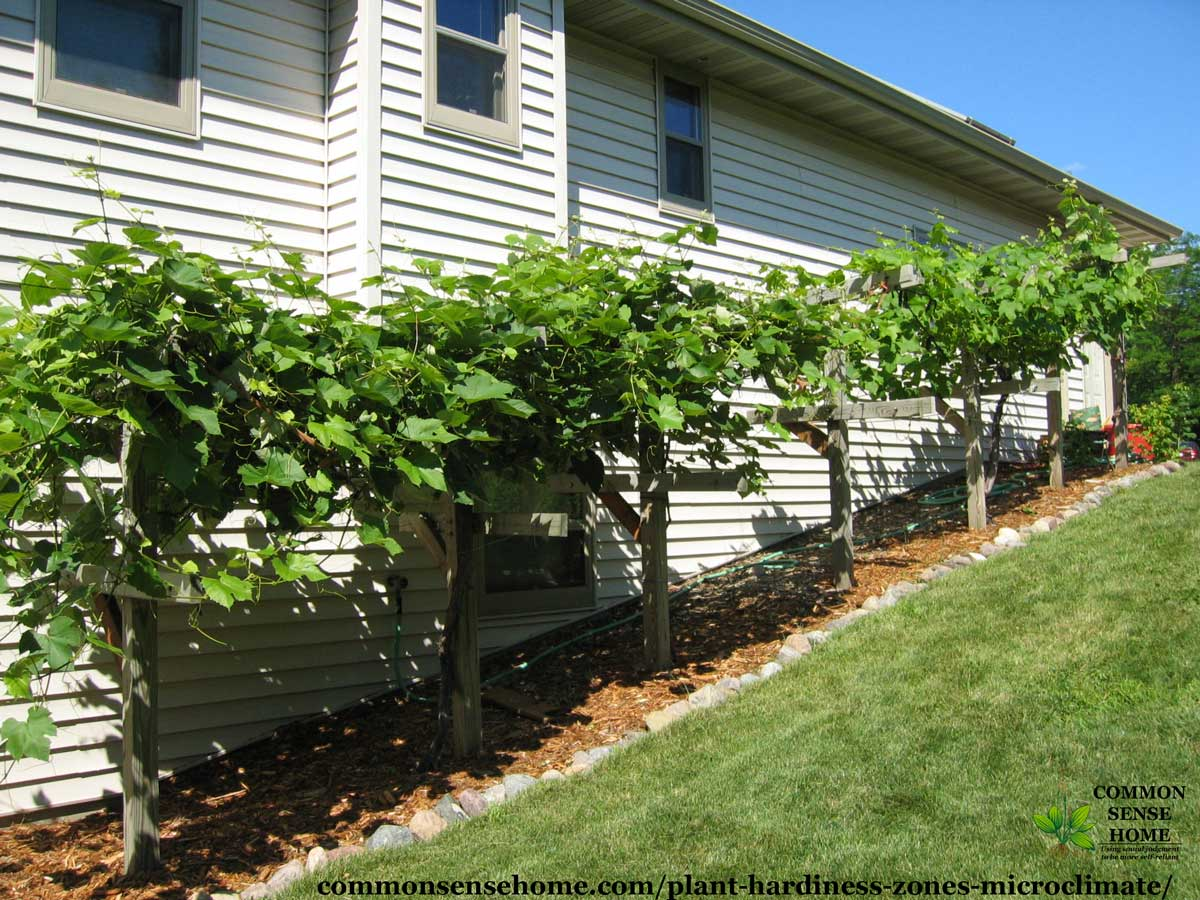 grape vines planted in protected microclimate on south side of house