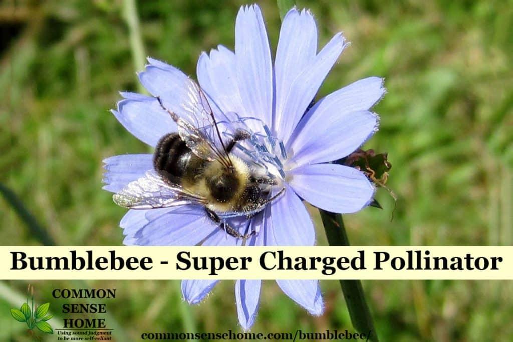 bumblebee on chicory
